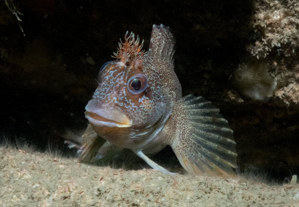 Underwater - dave - Tompot Blenny on Kats wall -Falmouth